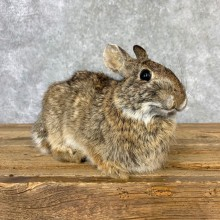 Cottontail Rabbit Taxidermy Mount For Sale #23229 @ The Taxidermy Store