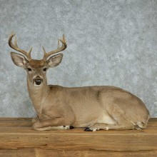 Coues Deer Life-Size Taxidermy Mount For Sale