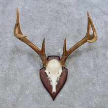 Coues Deer Antler Plaque Mount For Sale #14502 @ The Taxidermy Store
