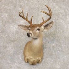 Coues Deer Shoulder Mount For Sale #22166 @ The Taxidermy Store