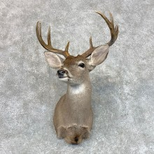 Coues Deer Shoulder Mount For Sale #22801 @ The Taxidermy Store