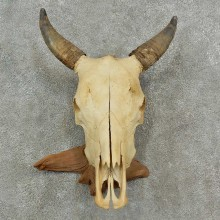 Steer Skull European Mount For Sale #16981 @ The Taxidermy Store
