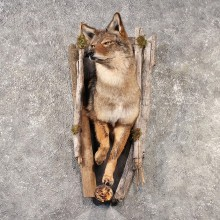 Coyote Mount #11517 For Sale - The Taxidermy Store
