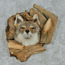 Coyote Head & Wood Taxidermy Mount #12928 For Sale @ The Taxidermy Store