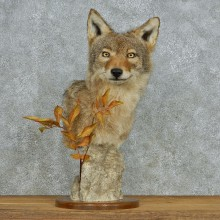 Coyote Head Pedestal Taxidermy Mount #13075 For Sale @ The Taxidermy Store