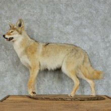 Coyote Life Size Standing Taxidermy Mount #13125 For Sale @ The Taxidermy Store
