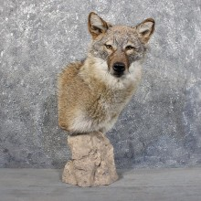 Coyote Pedestal Mount #11704 For Sale @ The Taxidermy Store
