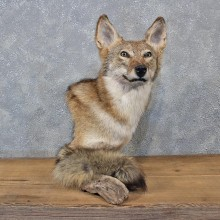 Coyote Pedestal Taxidermy Shoulder Mount #10883 For Sale @ The Taxidermy Store