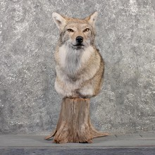 Coyote Pedestal Mount #11499 - For Sale - The Taxidermy Store