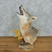 Howling Coyote Head Taxidermy Mount #12696 For Sale @ The Taxidermy Store
