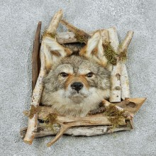 Coyote Head w/ Frame Taxidermy #13040 For Sale @ The Taxidermy Store