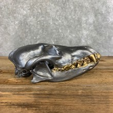 Coyote Full Skull Taxidermy Mount #21496 For Sale @ The Taxidermy Store