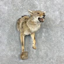 Coyote Half Life-Size Mount For Sale #23344 @ The Taxidermy Store