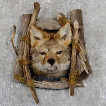 Coyote Head & Wood Taxidermy Mount #19408 For Sale @ The Taxidermy Store