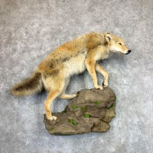 Coyote Life-Size Mount #22971 For Sale @ The Taxidermy Store