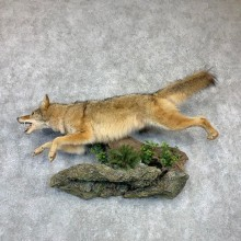 Coyote Life-Size Mount #23134 For Sale @ The Taxidermy Store