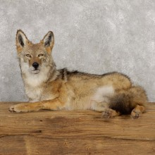 Coyote Life-Size Mount For Sale #18800 @ The Taxidermy Store