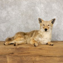 Coyote Life-Size Mount For Sale #18885 @ The Taxidermy Store