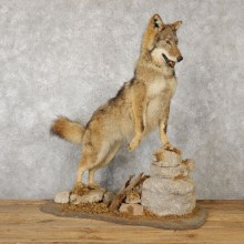 Coyote Life-Size Mount For Sale #19236 @ The Taxidermy Store