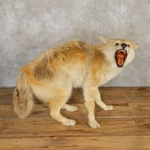 Coyote Life-Size Mount For Sale #20121 @ The Taxidermy Store
