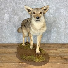 Coyote Life-Size Mount For Sale #21685 @ The Taxidermy Store