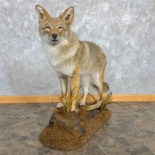 Coyote Life-Size Mount For Sale #22472 @ The Taxidermy Store