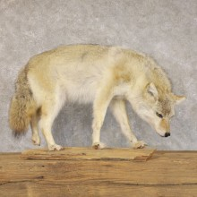 Coyote Life-Size Mount For Sale #22592 @ The Taxidermy Store