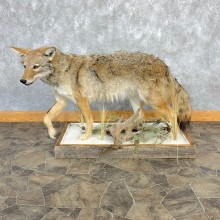 Coyote Life-Size Mount For Sale #23223 @ The Taxidermy Store