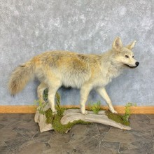 Coyote Life-Size Mount For Sale #23440 @ The Taxidermy Store