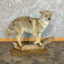 Coyote Life-Size Mount For Sale #23441 @ The Taxidermy Store