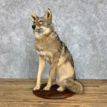Coyote Life-Size Mount For Sale #23496 @ The Taxidermy Store