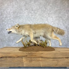 Coyote Life Size Taxidermy Mount #23182 For Sale @ The Taxidermy Store
