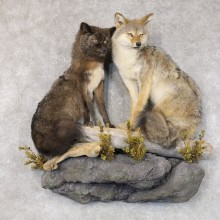 Coyote Pair Life-Size Taxidermy Mount #22580 For Sale @ The Taxidermy Store