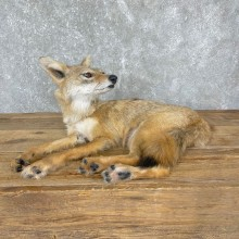 Coyote Pup Life-Size Taxidermy Mount For Sale