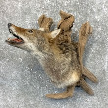 Coyote Shoulder Taxidermy Mount #23722 @ The Taxidermy Store
