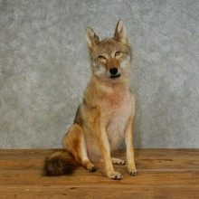 Sitting Coyote Life Size Mount #17088 For Sale @ The Taxidermy Store