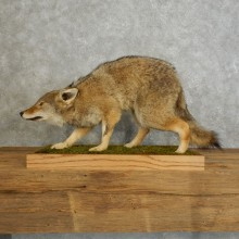Coyote Life-Size Mount For Sale #17552 @ The Taxidermy Store