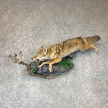 Coyote With Scaled Quail Life-Size Mount #22774 For Sale @ The Taxidermy Store