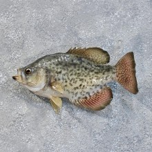 White Crappie Freshwater Fish Mount #10185 For Sale @ The Taxidermy Store