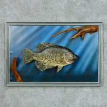 Crappie Life Size Mount #13666 For Sale @ The Taxidermy Store
