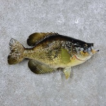 Crappie Fish Mount For Sale #14355 @ The Taxidermy Store