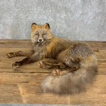 Cross Fox Life-Size Taxidermy Mount #23495 For Sale @ The Taxidermy Store