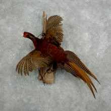 Golden Cross Pheasant For Sale #17660 @ The Taxidermy Store