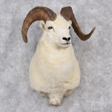 Dall Sheep Shoulder Taxidermy Head Mount #12516 For Sale @ The Taxidermy Store
