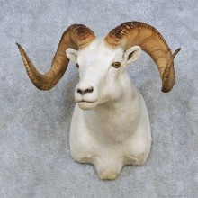 Dall Sheep Shoulder Mount For Sale #15074 @ The Taxidermy Store