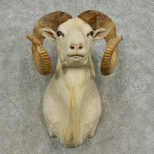 Dall Sheep Shoulder Mount For Sale #16872 @ The Taxidermy Store