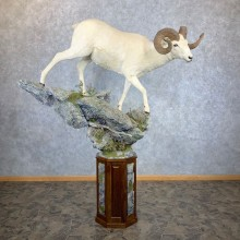 Dall Sheep Life-Size Mount For Sale #23383 @ The Taxidermy Store