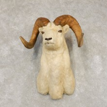 Dall Sheep Shoulder Mount For Sale #21431 @ The Taxidermy Store