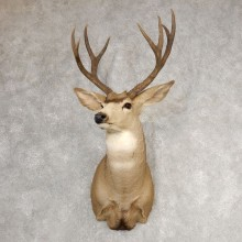 Desert Mule Deer Shoulder Mount For Sale #21071 @ The Taxidermy Store