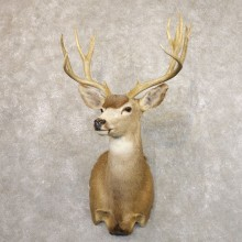 Desert Mule Deer Shoulder Mount For Sale #22175 @ The Taxidermy Store
